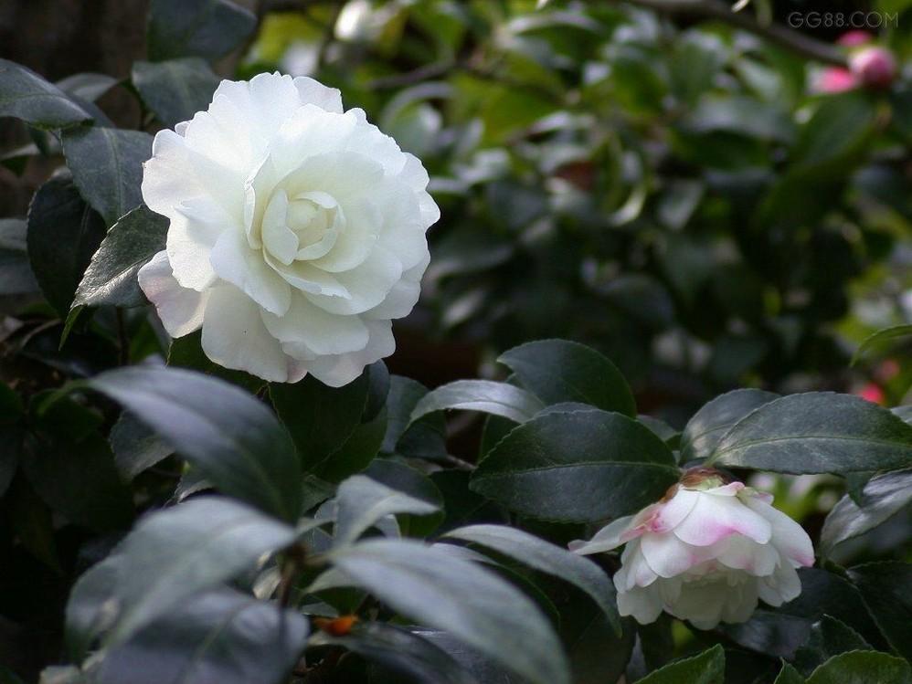 又名山茶花,耐冬花