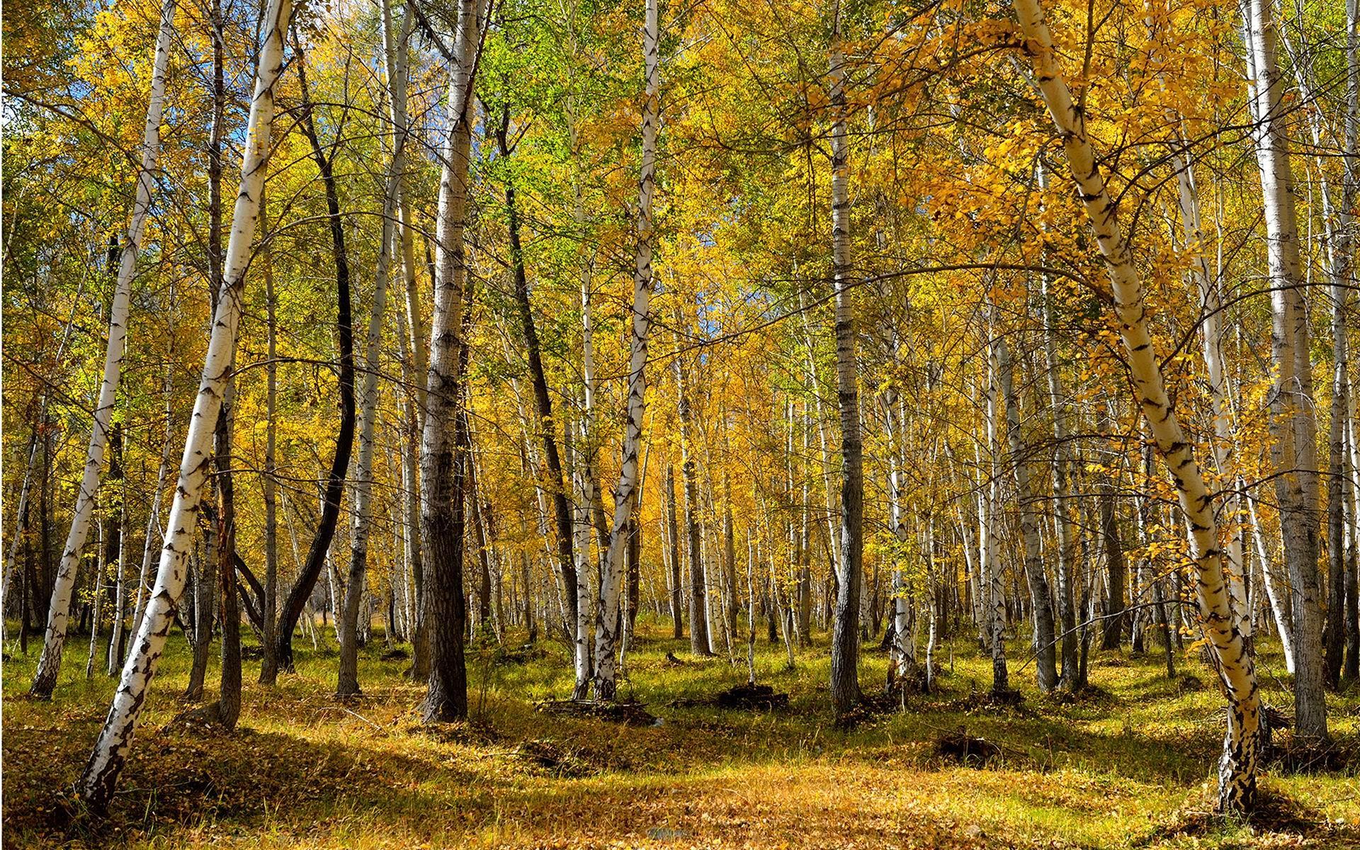 壁纸 风景 森林 树 桌面 桦林 桦树 1920_1200
