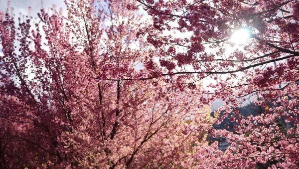 大理三塔冬樱花