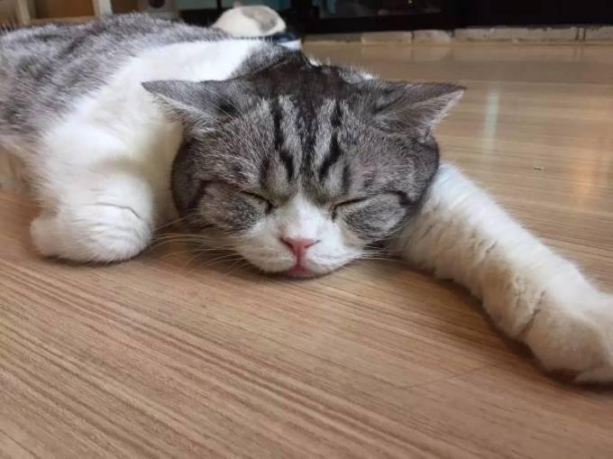 cafe加菲猫宠物咖啡馆,懒懒的睡眼惺惺的加菲猫,丑丑萌萌的,超级可爱.