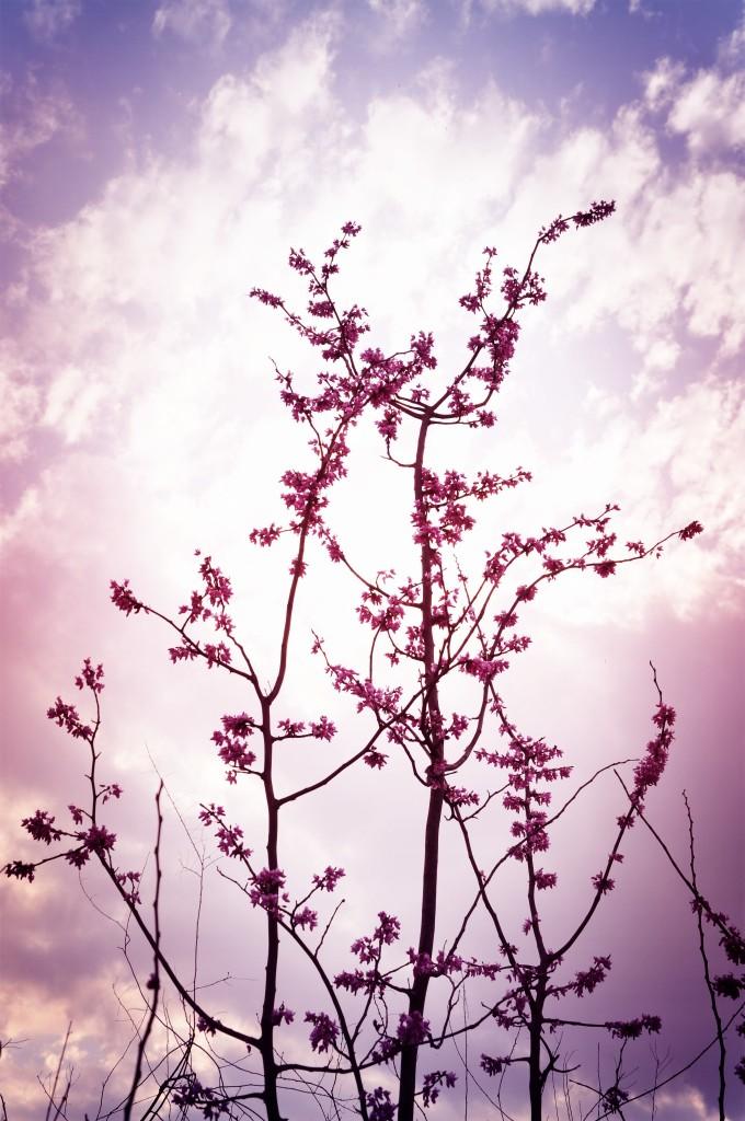 整颗桃花树简笔画