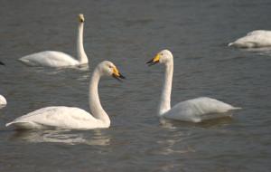 【三门峡图片】翩翩起舞之天鹅