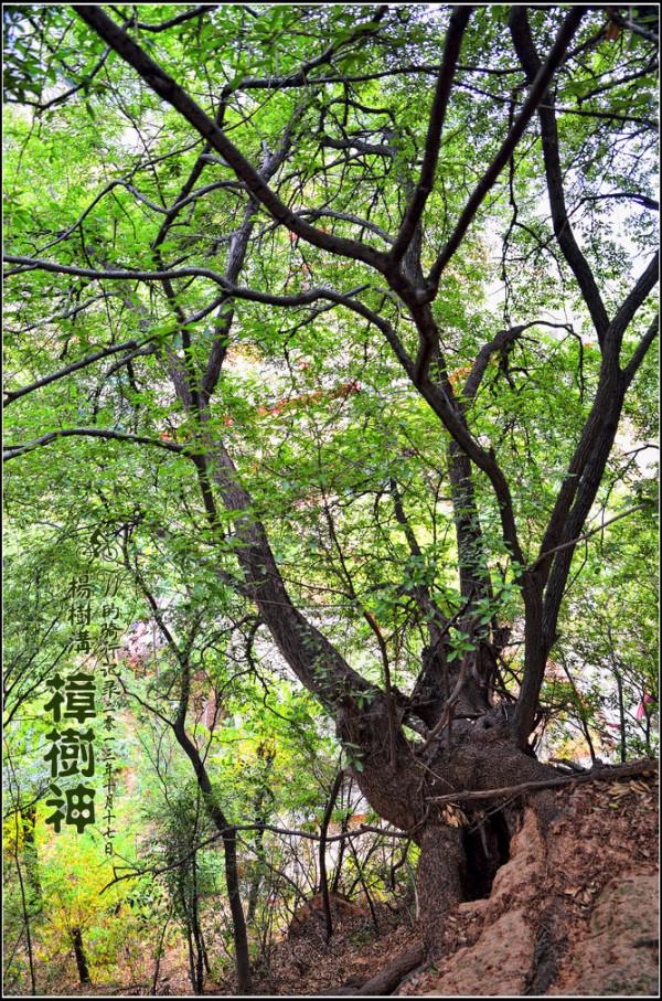 郑州浮戏山杨树沟风景区                     古树上面的菌类寄生物