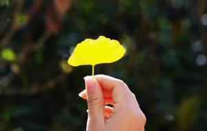【韶关图片】天空没有翅膀的痕迹,但我已飞过----留在脑海里那一抹金黄的银杏【文字更新完毕】