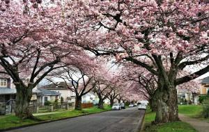 【加拿大图片】温哥华:樱飞樱舞樱万树 花开花落花满天