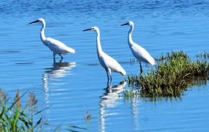 【北戴河区图片】北戴河湿地白鹭飞