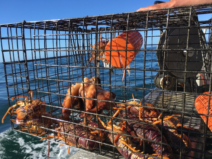船长会给你一把标尺,不到那个尺寸的龙虾都要放回海里