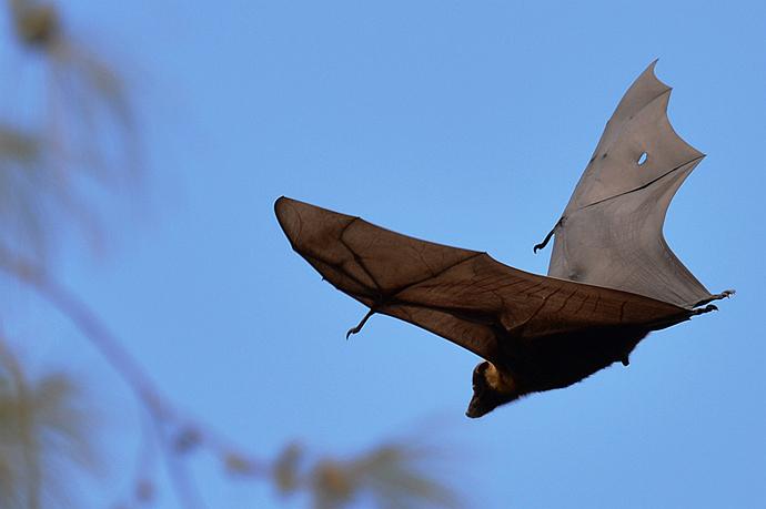 世上最大的巨型蝙蝠,展翼1米多!