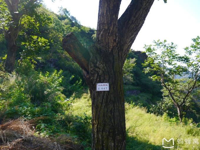 大核桃树,核桃树是落叶乔木,二月份以前都是移栽好季节,这里铭牌显示
