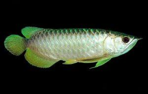 【棉兰图片】第八篇日记                      棉兰一绝吃鱼鳞